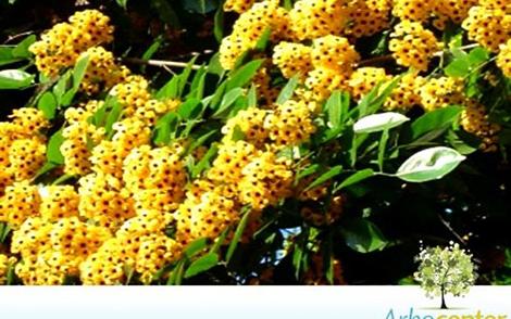 Sementes de Aldrago (Pterocarpus violaceus Vog.)
