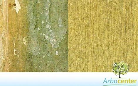Sementes de Araçá Amarelo (Psidium cattleyanum Sabine)