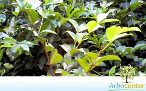 Sementes de Araçá Roxo (Psidium rufum D.C.)