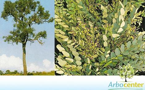Sementes de Caviúna-do-Cerrado (Dalbergia miscolobium Benth.)