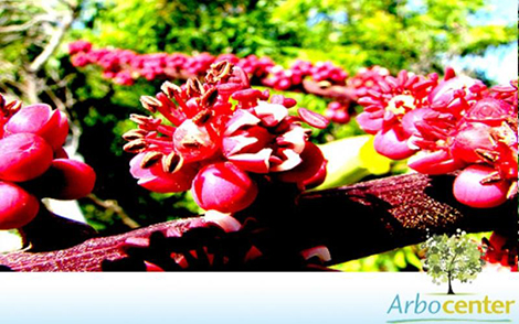 Sementes de Cheflera (Schefflera actinophylla (Endl.) Harms)