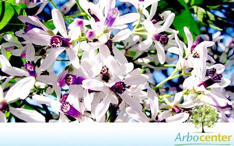 Sementes de Cinamomo Gigante (Melia azedarach L.)