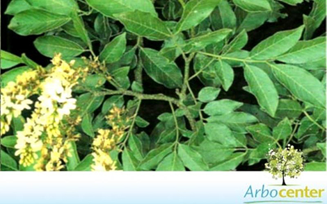 Sementes de Embira de Sapo (Lonchocarpus guillemineanus (Tul.) Malme)