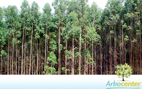 Sementes de Eucalipto Urograndis  (Eucalyptus grandis x Eucalyptus urophylla)