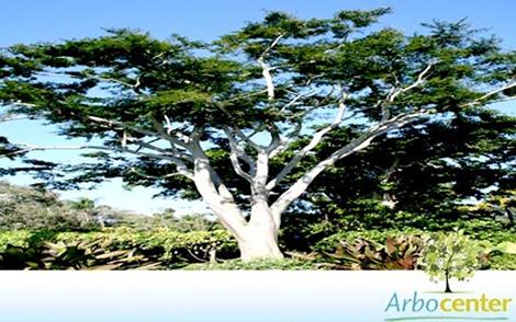 Sementes de Farinha seca (Albizia hasslerii (Chodat) Burkart)