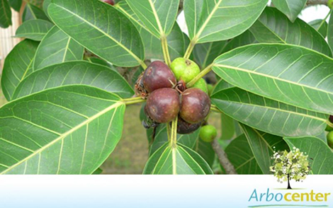 Sementes de Figueira Mata-Pau  (Ficus luschnathiana) (Miq.) Miq