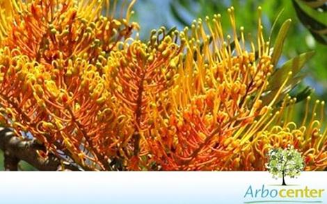 Sementes de Grevílea  (Grevillea robusta A. Cunn. ex. R. Br.)