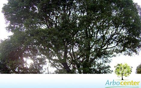 Sementes de Jacarandá Branco (Machaerium paraguariense Hassl.)