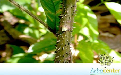 Sementes de Jaracatiá (Jacaratia spinosa)