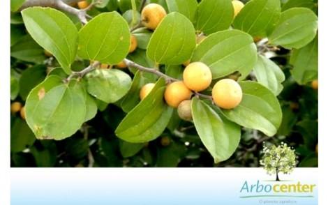 Fruto com sementes joazeiro
