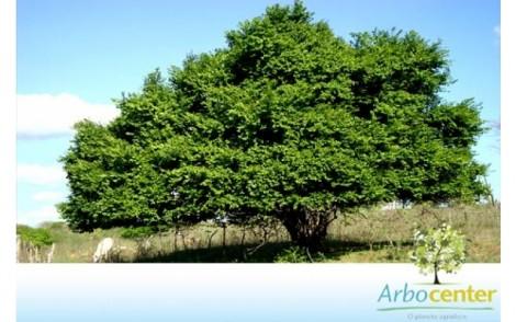Árvore Joazeiro
