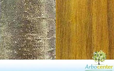 Sementes de Mamica Fedorenta (Zanthoxylum rugosum)