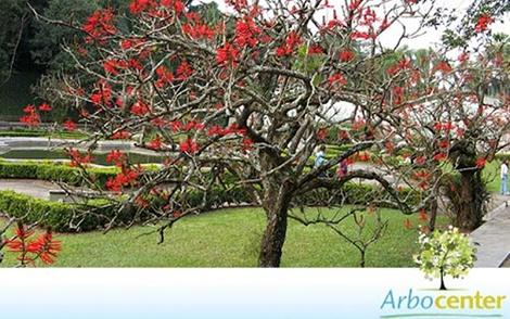 Sementes de Mulungu do Litoral (Erythrina speciosa)