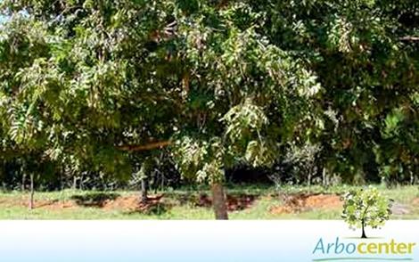 Sementes de Mutambo  (Guazuma ulmifolia)