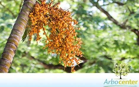Sementes de Palmeira Areca Bambu (Dypsis lutescens)
