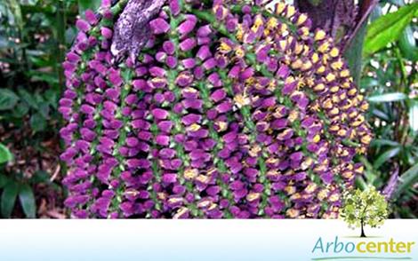 Sementes de Palmeira Caryota Mitis  (Caryota mitis Lour.)