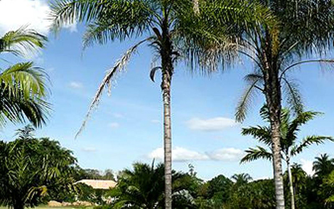Palmeira Guariroba Syagrus oleracea
