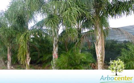 Sementes de Palmeira Jerivá  (Syagrus romanzoffiana)