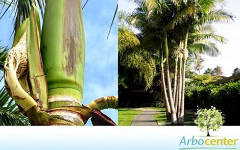 Sementes de Palmeira Real Australiana  (Archontophoenix alexandrae)