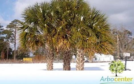 Sementes de Palmeira Sabal da Flórida  (Sabal palmetto)