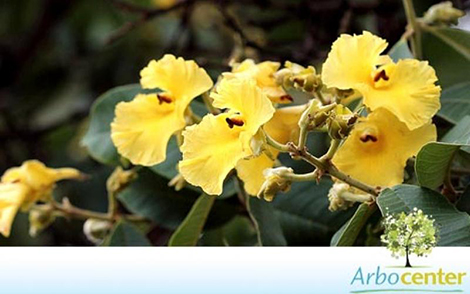 Sementes de Pau Terra  (Qualea grandiflora)