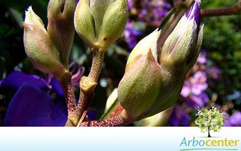 Sementes de Quaresmeira Roxa (Tibouchina granulosa)