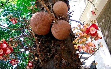 Frutos e flores do Abricó de Macaco