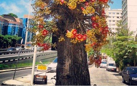 Arvore de Abricó de Macaco no paisagismo urbano