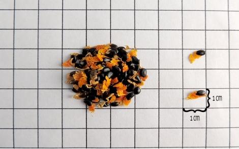 Sementes de Acácia Mangium em papel quadriculado 1cm x 1cm