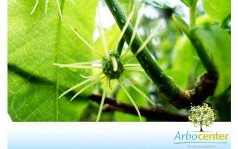 Sementes de Amora Branca (Maclura tinctoria (L) .D. Don ex Steud.)