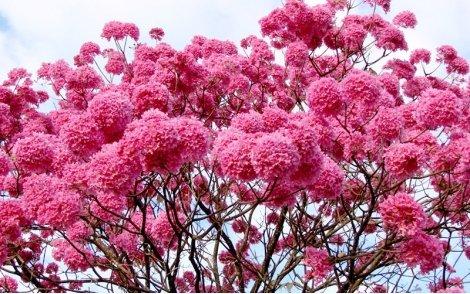 Florada de Ipê Roxo de Bola.