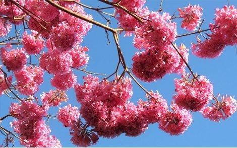 Flores do Ipê Roxo de Bola