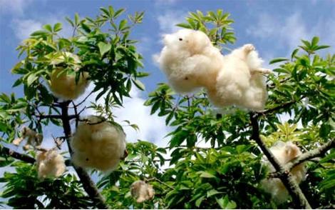Painas do fruto maduero da Paineira Rosa