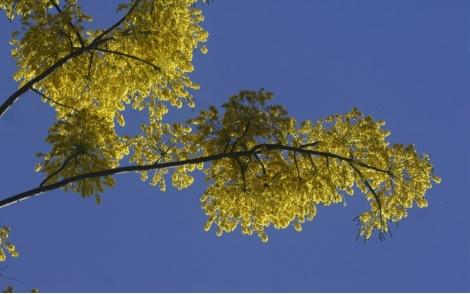 Florada do Paricá