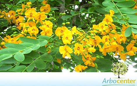 Sementes de Tipuana (Tipuana tipu (Benth.) Kuntze)