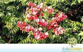 Sementes de Árvore da China