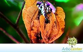 Sementes de Cabreuva(Myroxylon peruiferum L. f.)