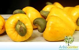 Sementes de Caju-Amarelo