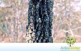Sementes de Carvão-Branco