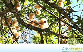 Sementes de Imbiruçu-Branco