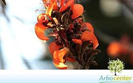 Sementes de Mulungu Velutina(Erythrina velutina)