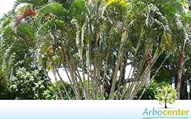 Sementes de Palmeira Areca Bambu