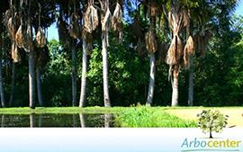 Sementes de Palmeira Buriti