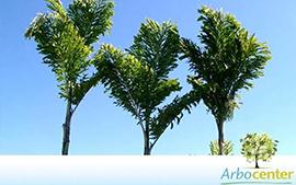 Sementes de Palmeira Cariota