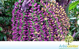 Sementes de Palmeira Caryota Mitis