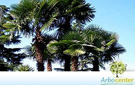 Sementes de Palmeira da Fortuna