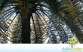 Sementes de Palmeira Fênix Gigante