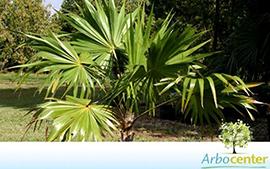 Sementes de Palmeira Leque Prateada