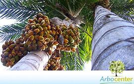 Sementes de Palmeira Pupunha sem espinho