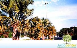 Sementes de Palmeira Sabal de Cuba